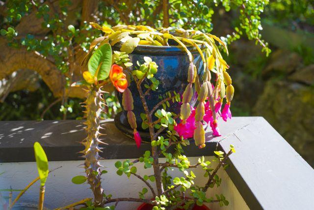 シャコバサボテンの鉢植え