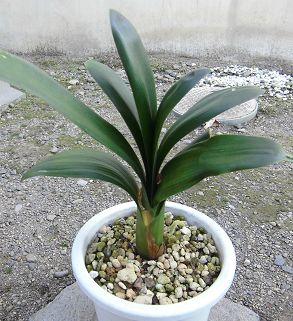 鉢植えのクンシラン