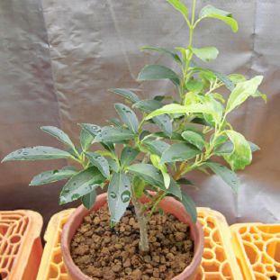 挿し木したレンギョウの鉢植え