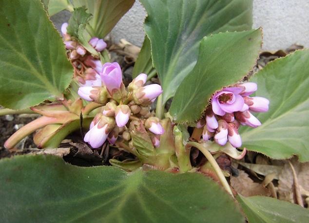 ヒマラヤユキノシタ咲き始め
