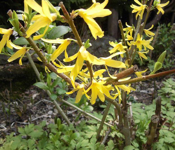 黄色いレンギョウの花