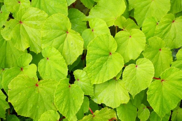 シュウカイドウの葉
