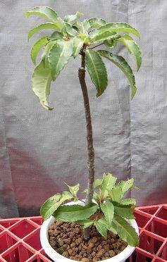 鉢植えのマンリョウ