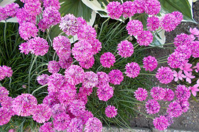 アルメリアの花