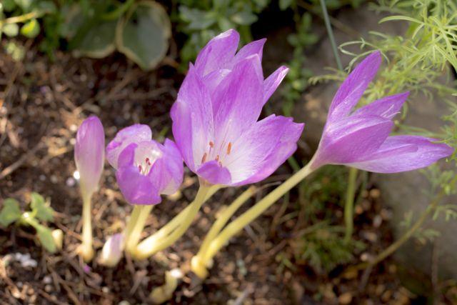 コルチカムの花