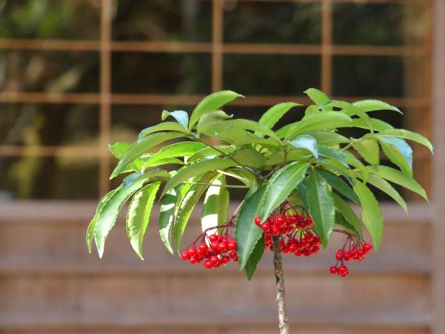 赤い実のマンリョウ