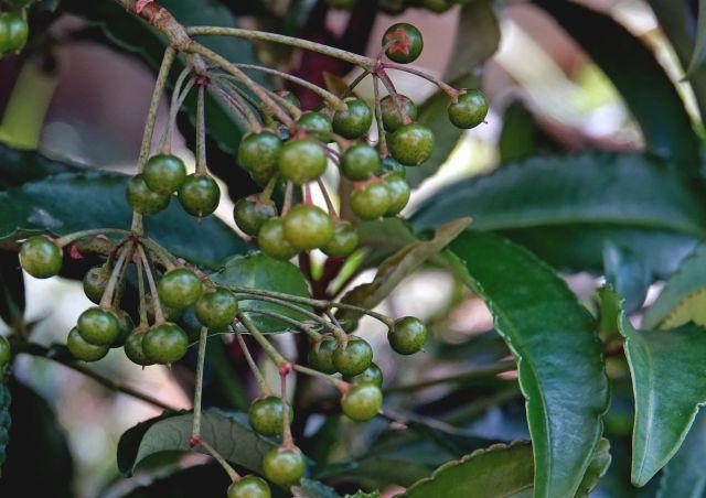 マンリョウの緑色の実