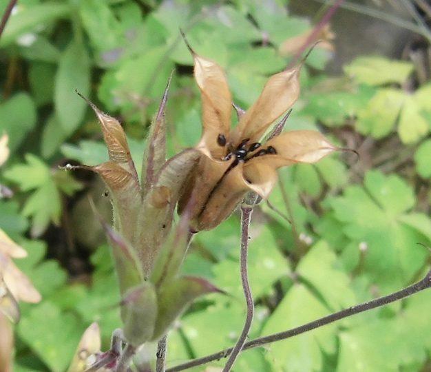 西洋オダマキの種