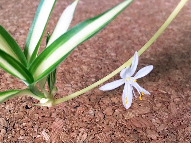 オリヅルランの花と子株