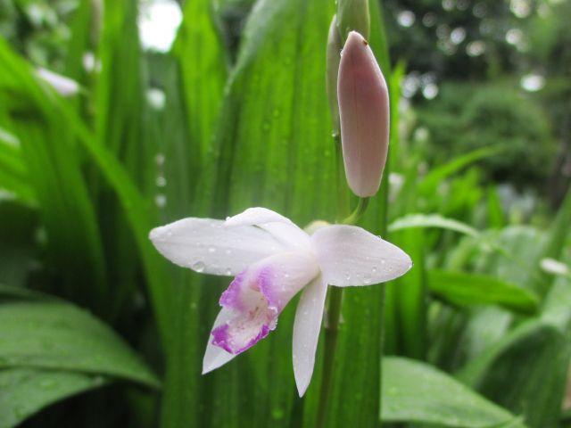 シラン(紫蘭)の白い花