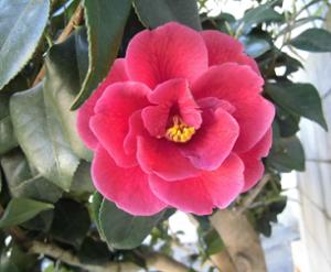 八重咲きのツバキ
