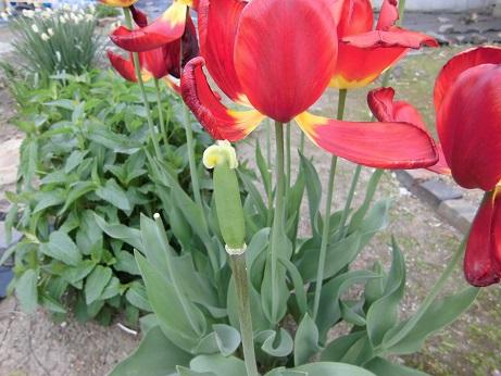 花後のチューリップ