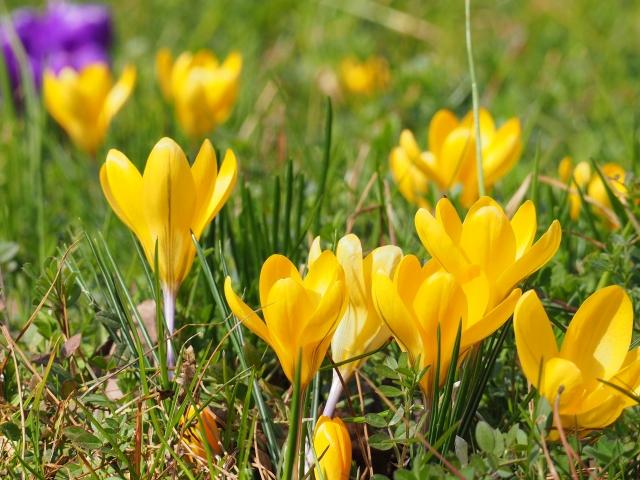 黄色のクロッカスの花