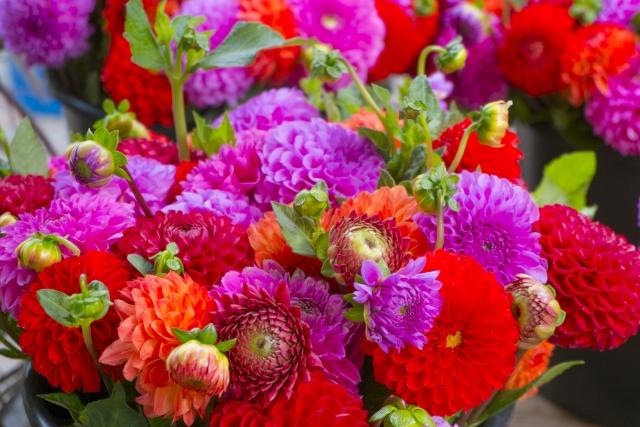 花色豊富なダリアの花