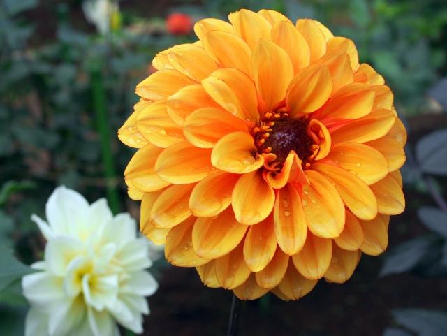 オレンジのダリアの花