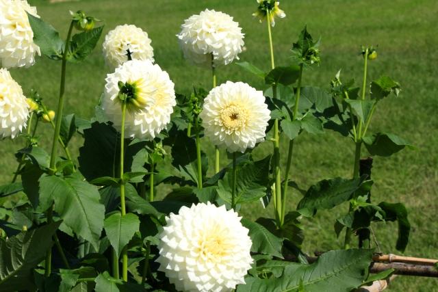白いダリアの花