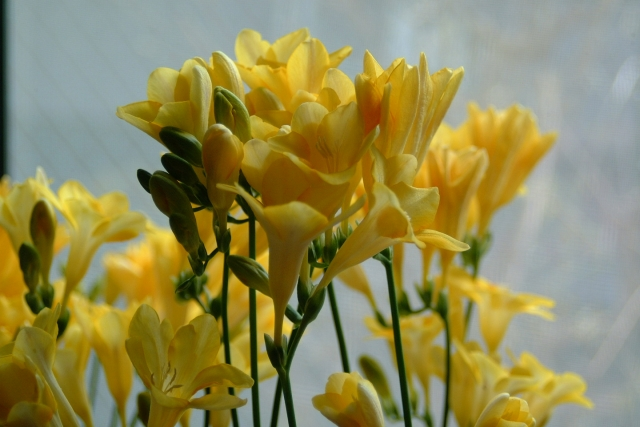黄色のフリージア