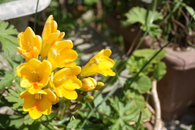 フリージアの黄色の花