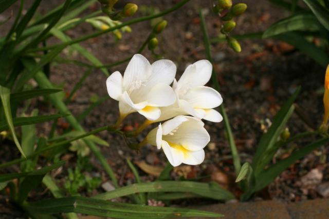 フリージアの白い花