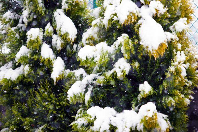 雪が積もったゴールドクレスト