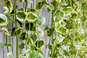 観葉植物 アイビー