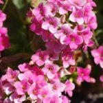 カランコエの花