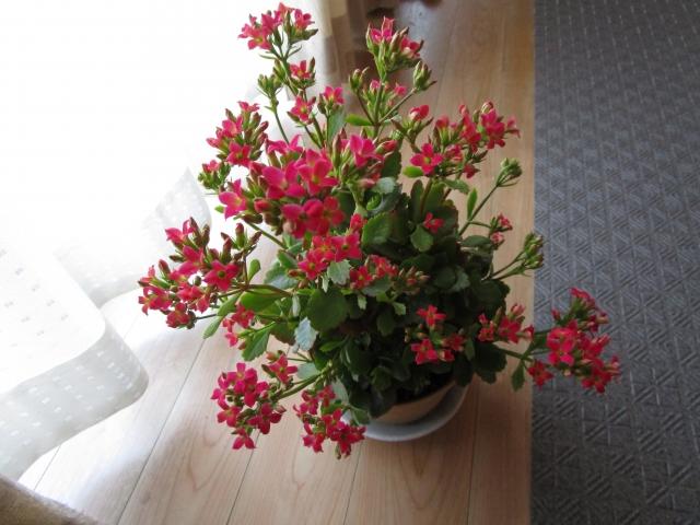 カランコエの鉢花
