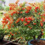ピラカンサの鉢植え