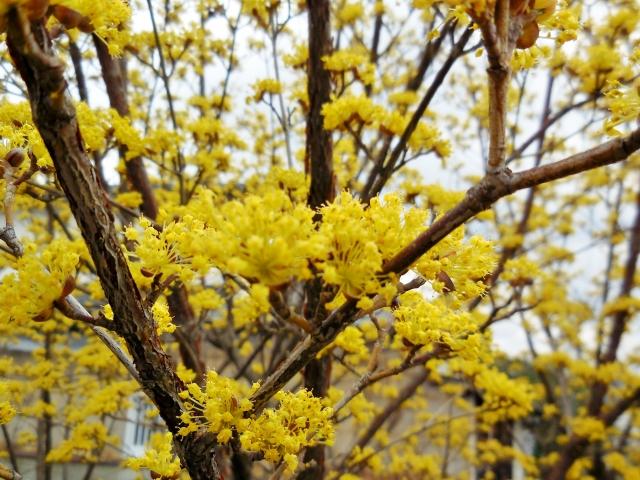 サンシュユの花