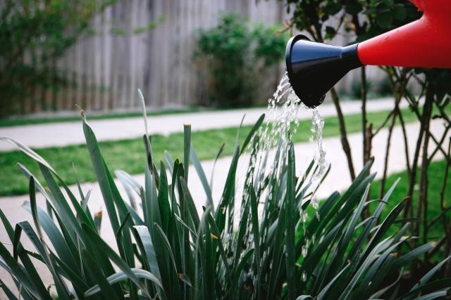 ジョーロで水やり