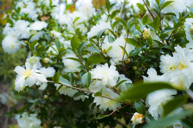 山茶花の白い花
