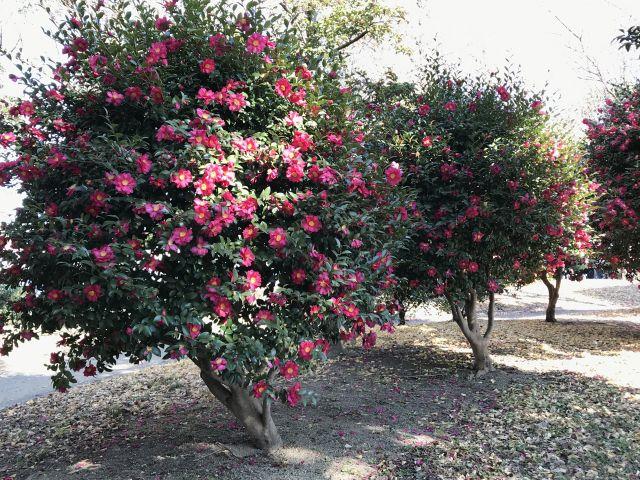 庭植えの山茶花