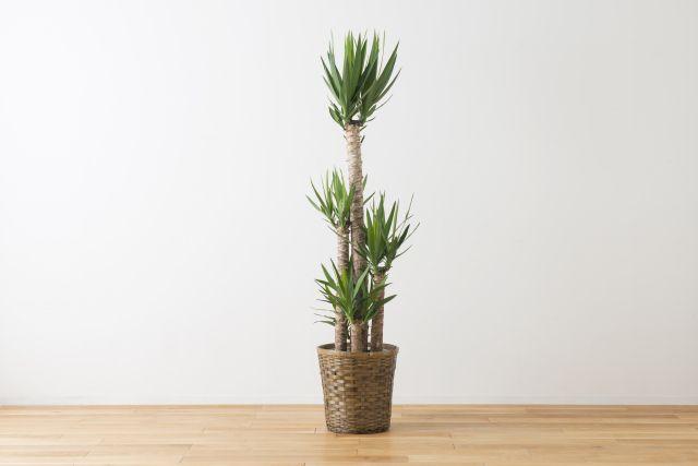 観葉植物ユッカ