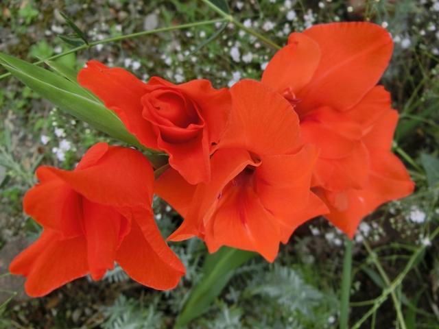 赤いグラジオラスの花