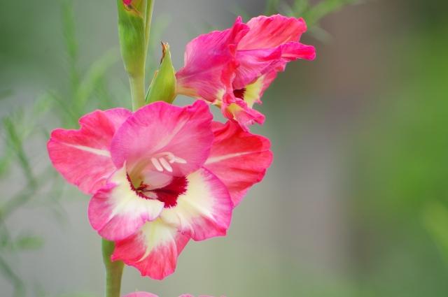 ピンクのグラジオラスの花