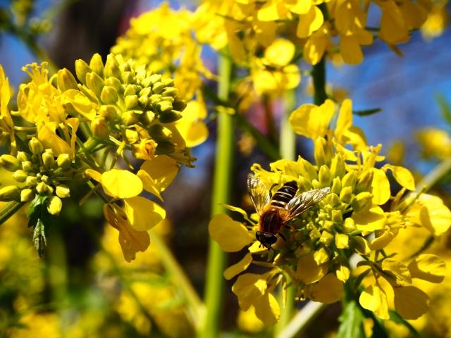 虻と菜の花