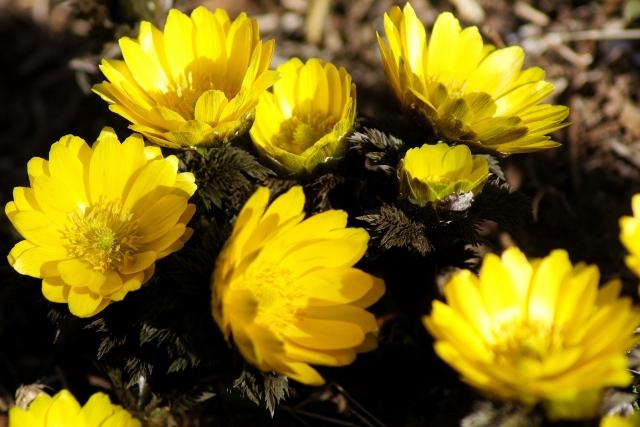 フクジュソウの黄色の花