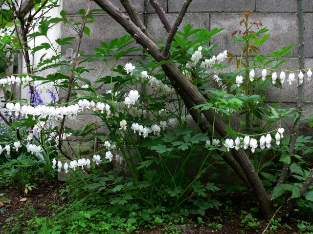 ケマンソウの白い花