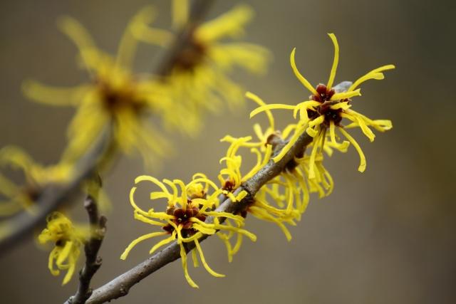 マンサクの黄色の花