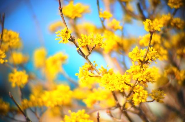 サンシュユの黄色の花