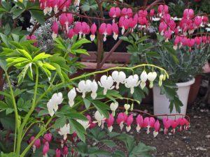 タイツリソウの花