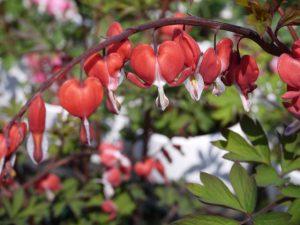 赤い花のタイツリソウ