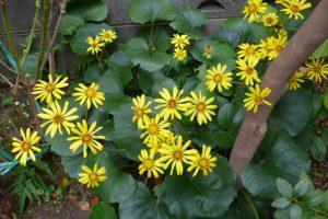 ツワブキの花