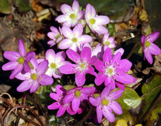 雪割草の花