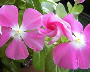 ニチニチソウのツボミと花