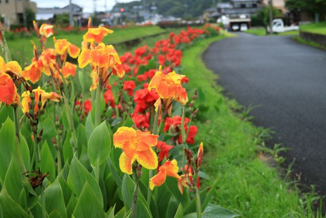 カンナの花