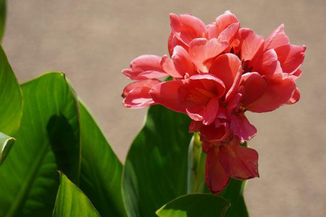 赤いカンナの花