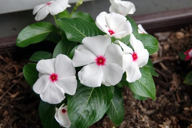 ニチニチソウ(ビンカ)の花
