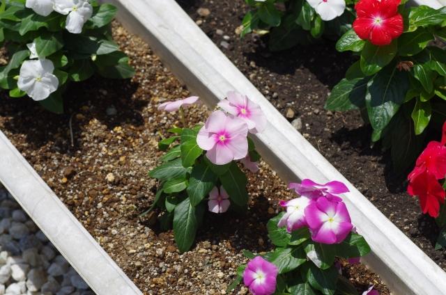 プランター植えのニチニチソウ