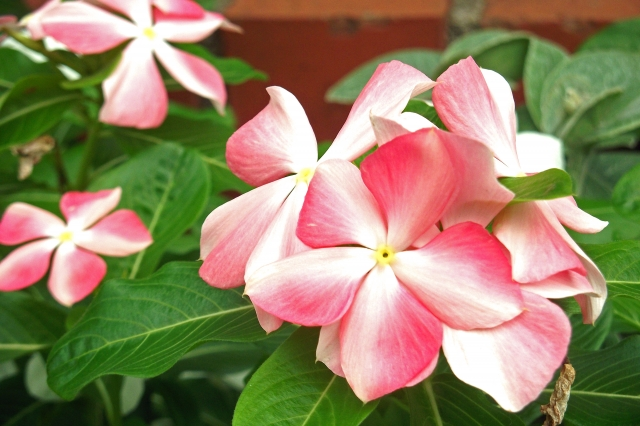 ニチニチソウの花